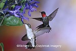 01162-11305 Ruby-throated Hummingbirds (Archilochus colubris)  on Black & Blue Salvia (Salvia guaranitica 'Black & Blue')  IL