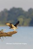 00783-01903 Osprey (Pandion haliaetus) landing at nest Rend Lake Jefferson Co. IL