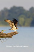 00783-01904 Osprey (Pandion haliaetus) landing at nest Rend Lake Jefferson Co. IL