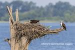 00783-01910 Osprey (Pandion haliaetus) feeding chick at nest Rend Lake Jefferson Co. IL