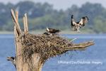 00783-01913 Osprey (Pandion haliaetus) landing at nest Rend Lake Jefferson Co. IL