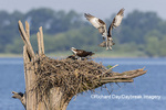 00783-01914 Osprey (Pandion haliaetus) landing at nest Rend Lake Jefferson Co. IL