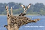00783-01916 Osprey (Pandion haliaetus) landing at nest Rend Lake Jefferson Co. IL