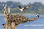 00783-01919 Osprey (Pandion haliaetus) landing at nest Rend Lake Jefferson Co. IL
