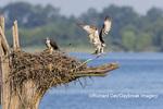 00783-02001 Osprey (Pandion haliaetus) landing at nest Rend Lake Jefferson Co. IL