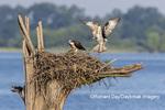 00783-02002 Osprey (Pandion haliaetus) landing at nest Rend Lake Jefferson Co. IL