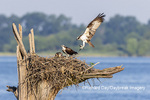 00783-02007 Osprey (Pandion haliaetus) landing at nest with fish Rend Lake Jefferson Co. IL