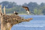 00783-02010 Osprey (Pandion haliaetus) landing at nest with fish Rend Lake Jefferson Co. IL