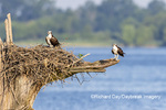 00783-02011 Osprey (Pandion haliaetus) landing at nest with fish Rend Lake Jefferson Co. IL