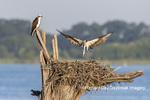 00783-02016 Osprey (Pandion haliaetus) landing at nest with fish Rend Lake Jefferson Co. IL