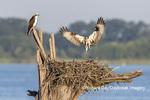 00783-02018 Osprey (Pandion haliaetus) landing at nest with fish Rend Lake Jefferson Co. IL