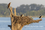 00783-02019 Osprey (Pandion haliaetus) family at nest with fish Rend Lake Jefferson Co. IL