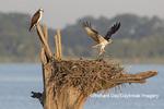 00783-02102 Osprey (Pandion haliaetus) landing at nest with fish Rend Lake Jefferson Co. IL