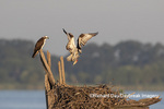 00783-02106 Osprey (Pandion haliaetus) landing at nest with fish Rend Lake Jefferson Co. IL