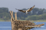 00783-02118 Osprey (Pandion haliaetus) landing with stick at nest Rend Lake Jefferson Co. IL