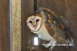 01110-00605 Barn Owl (Tyto alba) in barn Marion Co.IL
