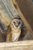 01110-00608 Barn Owl (Tyto alba) in barn Marion Co.IL