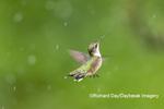 01162-15401 Ruby-throated Hummingbird (Archilochus colubris) bathing in sprinkler Marion Co. IL