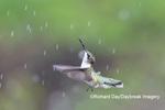 01162-15404 Ruby-throated Hummingbird (Archilochus colubris) bathing in sprinkler Marion Co. IL