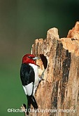 01197-00218 Red-headed Woodpecker (Melanerpes erythrocephalus) at nest site   IL