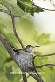 01162-15504 Ruby-throated Hummingbird (Archilochus colubris) female at nest Marion Co. IL