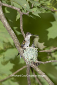 01162-15508 Ruby-throated Hummingbird (Archilochus colubris) female feeding young at nest Marion Co. IL