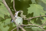 01162-15513 Ruby-throated Hummingbird (Archilochus colubris) female at nest Marion Co. IL