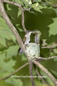 01162-15516 Ruby-throated Hummingbird (Archilochus colubris) female at nest Marion Co. IL
