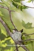 01162-15602 Ruby-throated Hummingbird (Archilochus colubris) female at nest Marion Co. IL