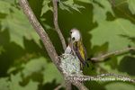 01162-15612 Ruby-throated Hummingbird (Archilochus colubris) female feeding young at nest Marion Co. IL