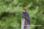 01194-00214 Pileated Woodpecker (Dryocopus pileatus) Great Smoky Mountains NP TN