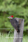 01194-00215 Pileated Woodpecker (Dryocopus pileatus) Great Smoky Mountains NP TN