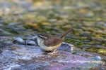 01323-00910 Carolina Wren (Thryothorus ludovicianus) bathing Marion Co. IL