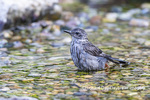 01392-03704 Gray Catbird (Dumetella carolinensis) bathing Marion Co. IL