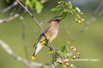 01415-03702 Cedar Waxwing (Bombycilla cedrorum) in Serviceberry Bush (Amelanchier canadensis) Marion Co. IL