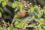 01415-03707 Cedar Waxwing (Bombycilla cedrorum)eating berry in Serviceberry Bush (Amelanchier canadensis) Marion Co. IL