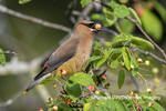 01415-03709 Cedar Waxwing (Bombycilla cedrorum)eating berry in Serviceberry Bush (Amelanchier canadensis) Marion Co. IL