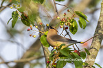 01415-03713 Cedar Waxwing (Bombycilla cedrorum)eating berry in Serviceberry Bush (Amelanchier canadensis) Marion Co. IL