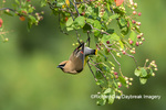 01415-03717 Cedar Waxwing (Bombycilla cedrorum) in Serviceberry Bush (Amelanchier canadensis) Marion Co. IL