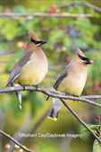 01415-03818 Cedar Waxwings (Bombycilla cedrorum) exchanging berry in Serviceberry Bush (Amelanchier canadensis) Marion Co. IL
