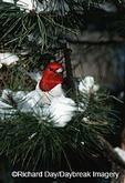 01197-02102 Red-headed Woodpecker (Melanerpes erythrocephalus) in winter   IL