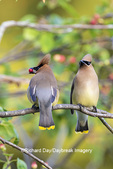 01415-03902 Cedar Waxwings (Bombycilla cedrorum) exchanging berry in Serviceberry Bush (Amelanchier canadensis) Marion Co. IL