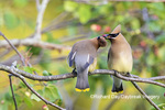 01415-03903 Cedar Waxwings (Bombycilla cedrorum) exchanging berry in Serviceberry Bush (Amelanchier canadensis) Marion Co. IL