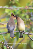 01415-03908 Cedar Waxwings (Bombycilla cedrorum) exchanging berry in Serviceberry Bush (Amelanchier canadensis) Marion Co. IL