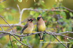 01415-03911 Cedar Waxwings (Bombycilla cedrorum) exchanging berry in Serviceberry Bush (Amelanchier canadensis) Marion Co. IL