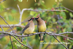 01415-03912 Cedar Waxwings (Bombycilla cedrorum) exchanging berry in Serviceberry Bush (Amelanchier canadensis) Marion Co. IL