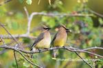 01415-03914 Cedar Waxwings (Bombycilla cedrorum) exchanging berry in Serviceberry Bush (Amelanchier canadensis) Marion Co. IL