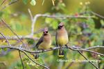 01415-03918 Cedar Waxwings (Bombycilla cedrorum) exchanging berry in Serviceberry Bush (Amelanchier canadensis) Marion Co. IL