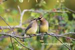01415-04002 Cedar Waxwings (Bombycilla cedrorum) exchanging berry in Serviceberry Bush (Amelanchier canadensis) Marion Co. IL