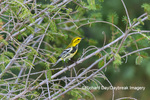 01487-00106 Black-throated Green Warbler (Setophaga virens) Marion Co. IL